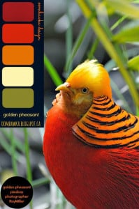 Golden Pheasant – Colour Palette
