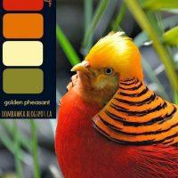 Golden Pheasant – Colour Palette
