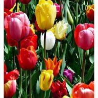Tulip Colour Palette