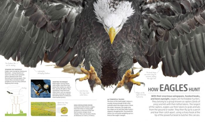 How Eagles Hunt - Smithsonian Explanatorium of Nature - DK Canada Book Review - ODC