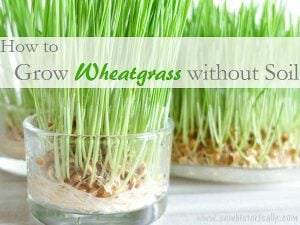 Featured at the Wednesday Link Party 241: How-To-Grow-Wheatgrass-Without-Soil-1